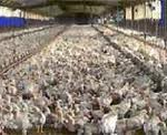 kippen, plofkip, dier onvriendelijk