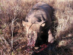 Medische claims voor neushoorn hoorns