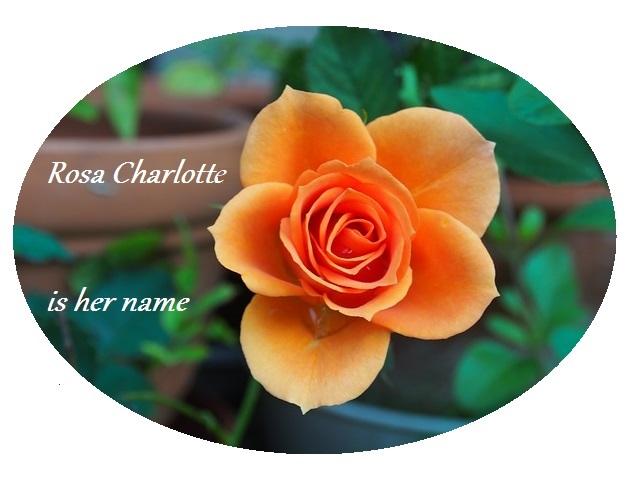 rosa charlotte