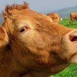Hoeveel koeien worden geslacht